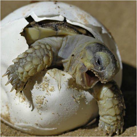 tartarughe caretta caretta